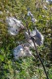 Το Milkweed που εκρήγνυται με το είναι σπόροι μια θερμή ηλιόλουστη ημέρα στοκ φωτογραφία