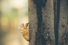 Το Moult Cicada συνδέει σε έναν μεγάλο φλοιό δέντρων στο δάσος στοκ εικόνες με δικαίωμα ελεύθερης χρήσης