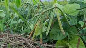 Το mung φασόλι, εναλλακτικά γνωστό ως πράσινο γραμμάριο, maash, ή moong σανσκριτικός στοκ εικόνα με δικαίωμα ελεύθερης χρήσης