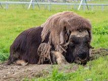Το musk βόδι είναι κοιμισμένο στοκ φωτογραφία με δικαίωμα ελεύθερης χρήσης
