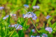 Το Myosotis με ξεχνά όχι λουλούδια Στοκ εικόνα με δικαίωμα ελεύθερης χρήσης