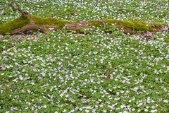 Το nemorosa Anemone είναι ένα ανθίζοντας φυτό πρόωρος-ελατηρίων Στοκ εικόνες με δικαίωμα ελεύθερης χρήσης
