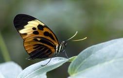 Το Numata Longwing (numata Heliconius) Στοκ Εικόνα