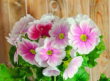 Το obconica Primula με αγγίζει, ροζ με τα άσπρα λουλούδια, πράσινα φύλλα Στοκ Φωτογραφίες