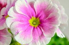 Το obconica Primula με αγγίζει, ροζ με τα άσπρα λουλούδια, πράσινα φύλλα Στοκ Φωτογραφία