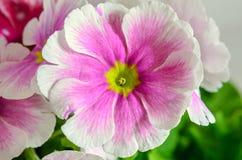 Το obconica Primula με αγγίζει, ροζ με τα άσπρα λουλούδια, πράσινα φύλλα Στοκ Εικόνα