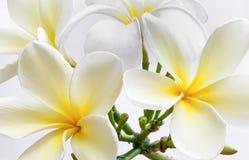 Το obtusa Plumeria είναι όμορφο λουλούδι Στοκ εικόνα με δικαίωμα ελεύθερης χρήσης