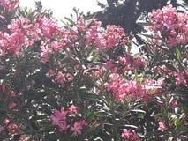 Το Oleanders αυξάνεται καλύτερα στον πλήρη ήλιο στοκ εικόνα