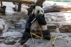 Το panda κατάπληξης τρώει το μπαμπού Στοκ Εικόνα