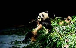 Το panda Στοκ Εικόνες