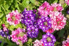 Το paniculata Phlox, κήπος phlox στην άνθιση Στοκ Φωτογραφία