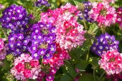 Το paniculata Phlox, κήπος phlox στην άνθιση Στοκ εικόνα με δικαίωμα ελεύθερης χρήσης