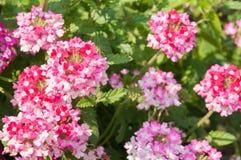 Το paniculata Phlox, κήπος phlox στην άνθιση Στοκ Φωτογραφίες