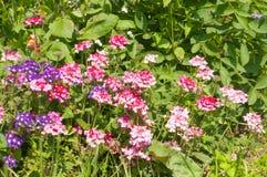 Το paniculata Phlox, κήπος phlox στην άνθιση Στοκ φωτογραφίες με δικαίωμα ελεύθερης χρήσης