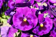 Το Pansy είναι ένα καταπληκτικό λουλούδι και ο συνδυασμός χρώματός του είναι μεγάλος Tricolor VAR Viola hortensis Viola Wittrocki στοκ εικόνες