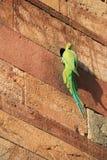 Το Parakeet στηρίζεται σε έναν τοίχο στην καταστροφή σε Qutb minar στο Νέο Δελχί (Ινδία) Στοκ Εικόνες