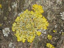 Το parientina Xanthoria λειχήνων επάνω η μακρο, εκλεκτική εστίαση φλοιών δέντρων Στοκ Εικόνες