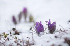 Το pasque-λουλούδι άνθισε στο χιόνι Στοκ Εικόνες