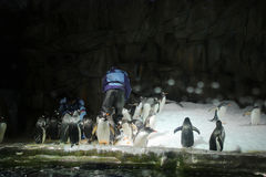 το patagonicus Aptenodytes βασιλιάδων penguins Στοκ Εικόνες