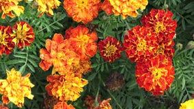 Το patula Tagetes λουλουδιών στον κήπο απόθεμα βίντεο