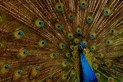 Το Peacock επενδύει με φτερά 01 Στοκ εικόνες με δικαίωμα ελεύθερης χρήσης