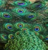 Το Peacock επενδύει με φτερά τη λεπτομέρεια 1 Στοκ φωτογραφία με δικαίωμα ελεύθερης χρήσης