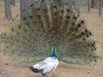 Το Peacock με την ανοικτή ουρά και Στοκ Φωτογραφίες