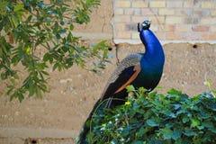 Το Peacock μπλε-, λίμνη castell del remei, lerida στοκ φωτογραφία
