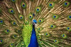 Το Peacock Στοκ Εικόνες