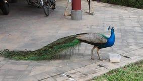 Το Peafowl τρώει τα τρόφιμα από ένα πλαστικό εμπορευματοκιβώτιο