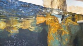 Το Penguin κολυμπά και παίζει με έναν επισκέπτη στο ενυδρείο φιλμ μικρού μήκους