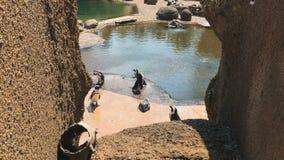 Το Penguins απολαμβάνει το θερινό ήλιο στο ζωολογικό κήπο απόθεμα βίντεο