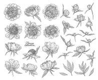 Το Peony ανθίζει και βλαστάνει το χέρι που σύρεται στις γραμμές Γραπτή γραφική floral διανυσματική απεικόνιση σκίτσων doodle Απομ στοκ φωτογραφίες