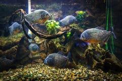 Το Piranha κολυμπά κάτω από το νερό σε ένα υπόβαθρο στοκ εικόνες με δικαίωμα ελεύθερης χρήσης