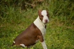 Το pitbull θέτει Στοκ φωτογραφίες με δικαίωμα ελεύθερης χρήσης