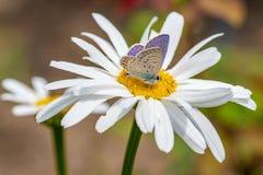 Το Plebejus Argus, ασημώνει στερεωμένο μπλε να ταΐσει πεταλούδων με το άγριο ΛΦ Στοκ Εικόνα