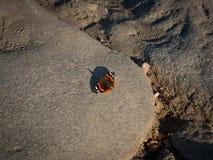 Το plexippus Danaus πεταλούδων μοναρχών Στοκ φωτογραφία με δικαίωμα ελεύθερης χρήσης