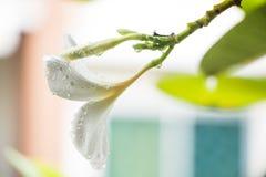 Το Plumeria ανθίζει βροχερό Στοκ φωτογραφία με δικαίωμα ελεύθερης χρήσης