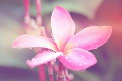 Το Plumeria ανθίζει με τα φίλτρα χρώματος, μαλακή εστίαση των όμορφων λουλουδιών με τα φίλτρα χρώματος Στοκ Εικόνες