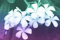 Το Plumeria ανθίζει με τα φίλτρα χρώματος, μαλακή εστίαση των όμορφων λουλουδιών με τα φίλτρα χρώματος Στοκ Εικόνα