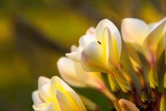 Το Plumeria ανθίζει το λευκό, κίτρινο Στοκ Εικόνα