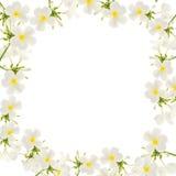Το Plumeria ανθίζει το πλαίσιο που απομονώνεται στο άσπρο υπόβαθρο Στοκ φωτογραφία με δικαίωμα ελεύθερης χρήσης