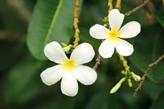 Το Plumeria είναι ένα αιώνιο είδος φυτών ανθίσματος στοκ φωτογραφία