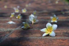 Το Plumeria είναι πτώση που διασκορπίζεται περίπου στο πάτωμα στο χρόνο πρωινού Στοκ εικόνα με δικαίωμα ελεύθερης χρήσης