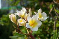 Το Plumeria είναι όμορφα λουλούδια Στοκ Εικόνες
