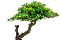 Το Plumeria στο δέντρο plumeria απομονώνει στο άσπρο υπόβαθρο Στοκ φωτογραφίες με δικαίωμα ελεύθερης χρήσης