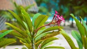 Το plumeria Frangipani ανθίζει την ηλιόλουστη ημέρα, τους φοίνικες και το ωκεάνιο υπόβαθρο, Koh Lipe, Ταϊλάνδη Στοκ φωτογραφία με δικαίωμα ελεύθερης χρήσης