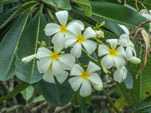 Το Plumeria Frangipani, τα λουλούδια και τα δέντρα είναι ανθίζοντας Στοκ Εικόνες