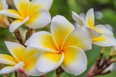 Το Plumeria Frangipani, τα λουλούδια και τα δέντρα είναι ανθίζοντας Στοκ Φωτογραφίες