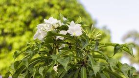 Το Plumeria Frangipani, Champa, Amapola, και δέντρο ναών είναι άλλο όνομα Στοκ Φωτογραφίες
